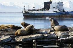 Лежбище сивучей – северных морских львов – в Петро